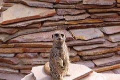 Meerkat. A Meerkat looking into the cam Stock Photography