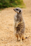 Meerkat. Standing on hind legs, looking to side Royalty Free Stock Photos
