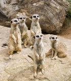 Meerkat Stockbilder