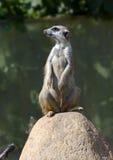 Meerkat 15 Stock Images