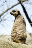 Meerkat. Standing up and looking around Stock Photo
