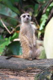 Meerkat. The meerkat or suricate Suricata suricatta is a small mammal and a member of the mongoose family. It inhabits all parts of the Kalahari Desert in royalty free stock image