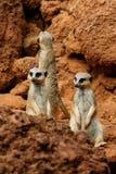 meerkat τρία Στοκ Εικόνες