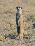 Meerkat Fotografie Stock