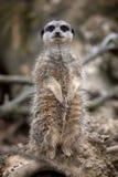 meerkat Στοκ φωτογραφία με δικαίωμα ελεύθερης χρήσης