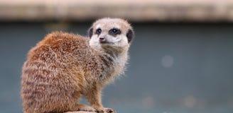 Meerkat Lizenzfreie Stockfotos