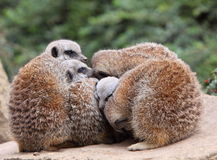 Meerkat. A group of meerkats huddling together for warmth Stock Image