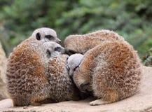 Meerkat Stockbild
