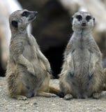 Meerkat 17 Stock Image