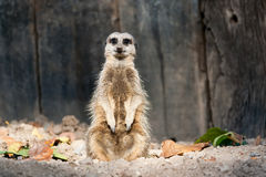 Meerkat. A single meerkat sitting upright and facing the camera Royalty Free Stock Photos