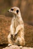 meerkat Obraz Royalty Free