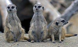 Meerkat 18 Stock Photo