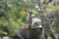 meerkat Fotografering för Bildbyråer