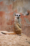 Meerkat. Is standing and turn head back with eyecontact stock photos