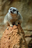 Meerkat. An African Meerkat perched on a rock Royalty Free Stock Photo