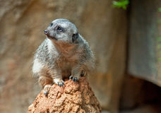 Meerkat. An African Meerkat perched on a rock Stock Photo
