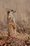 Meerkat. (suricate) on lookout duty, South Africa Royalty Free Stock Photo