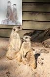 Meerkat. Suricata suricatta funny animal Stock Images