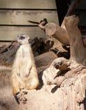 Meerkat. Suricata suricatta funny animal Stock Image