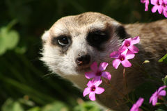 Meerkat. In Flowers Royalty Free Stock Image