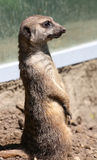 Meerkat. Imagen de archivo