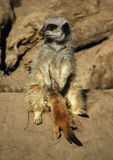 Meerkat 2. A mother meerkat, feeding a newly born meerkat royalty free stock images