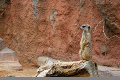 Meerkat 2 Lizenzfreie Stockfotos