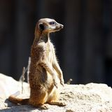 The meerkat Stock Image