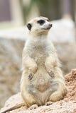Meerkat Royalty Free Stock Photo