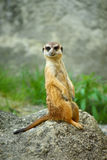 meerkat Zdjęcie Royalty Free