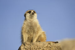 Meerkat. Meerkat (Suricata suricata) with copy space Stock Photography