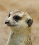Meerkat Royalty Free Stock Images
