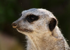 Free Meerkat Royalty Free Stock Photos - 21153648