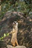 Meerkat Imagens de Stock Royalty Free