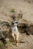 Meerkat. Or suricate, Suricata suricatta, small mammal belonging to the mongoose family royalty free stock photo