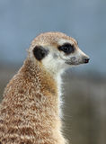Meerkat. Looking out for danger Royalty Free Stock Photography