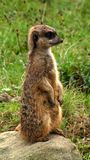 Meerkat. Sitting on its hind legs Stock Image