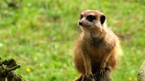 Meerkat. Sitting and guarding on trunk Royalty Free Stock Photos