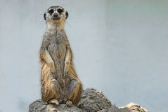 Meerkat. On Guard of his territory Royalty Free Stock Images
