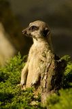 Meerkat. /suricate belongs to the mongoose family Royalty Free Stock Photography