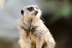 Meerkat. A Meerkat sitting up and looking to the side Stock Image
