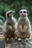 Meerkat Photographie stock