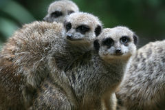 Meerkat Foto de Stock Royalty Free