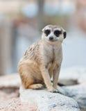 Meerkat Stock Photo