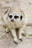 A Meerkat Royalty Free Stock Photo