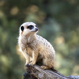 Meerkat. Single meerkat on a log, gazing into the distance.  Blurred background Stock Photography