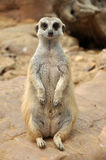 Meerkat Stock Foto's