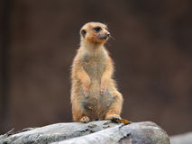 Meerkat. Having sunbath in Singapore zoo Royalty Free Stock Image