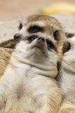 Meerkat Immagine Stock