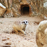 Meerkat Royalty Free Stock Photo